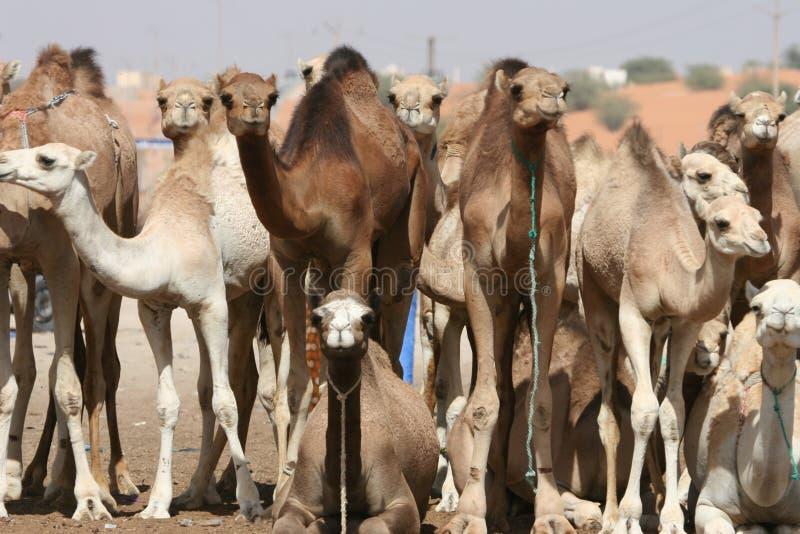 骆驼牧群 免版税库存照片
