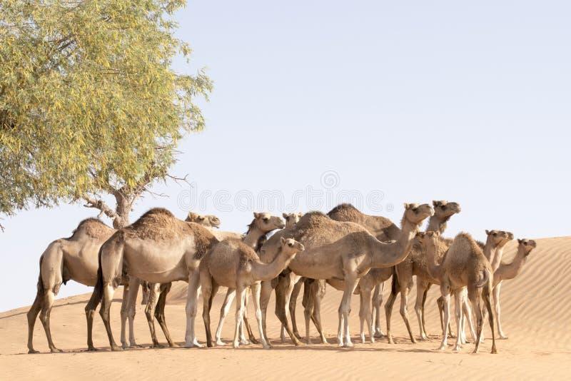 骆驼牧群 图库摄影