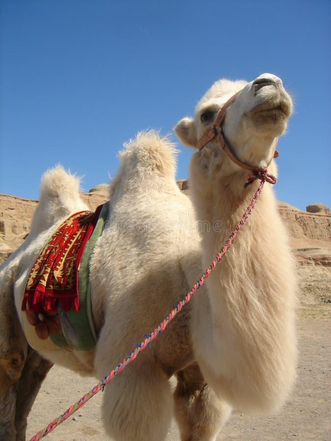 骆驼白色 库存图片