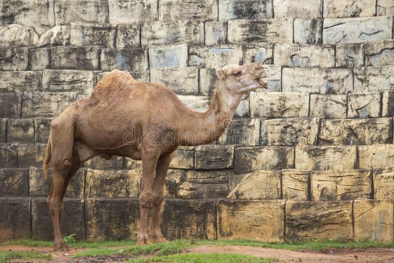 骆驼的图象 免版税库存图片