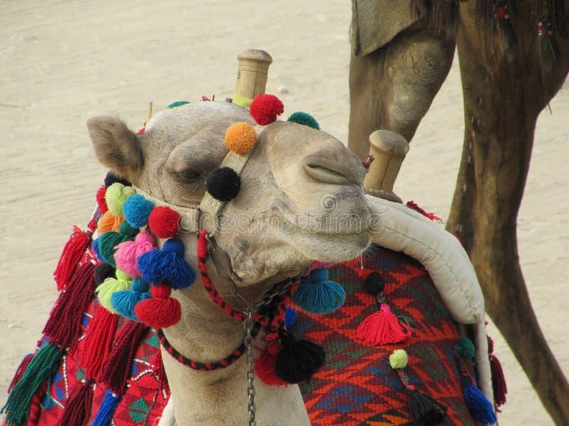骆驼的枪口用五颜六色的缨子和埃及全国装饰品装饰 库存照片