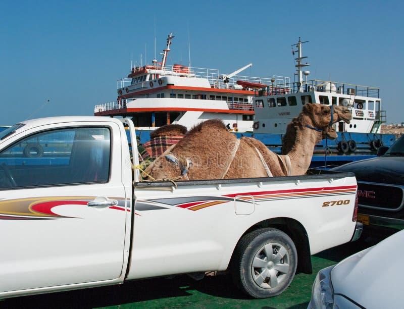 骆驼的运输乘汽车在阿曼 免版税库存照片