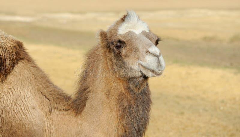 骆驼的题头 免版税库存图片