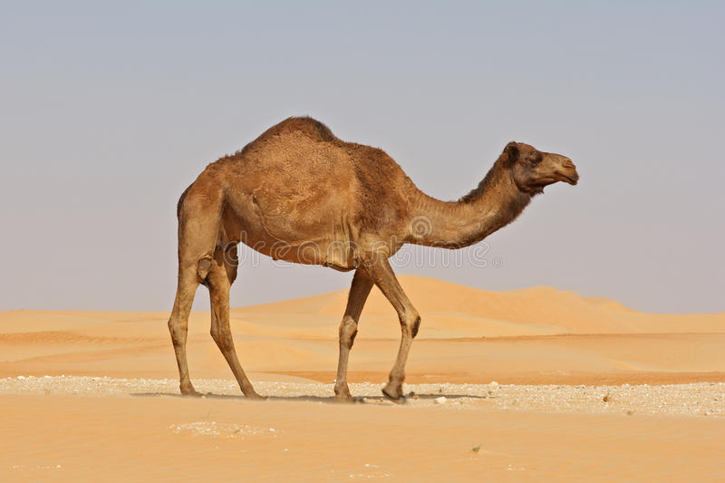 骆驼空的季度 库存照片
