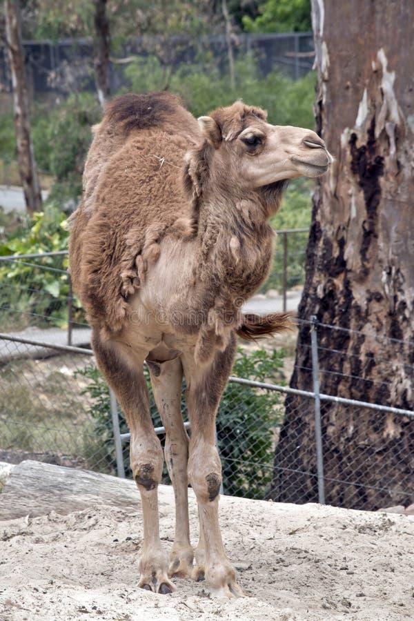 骆驼站立 库存照片
