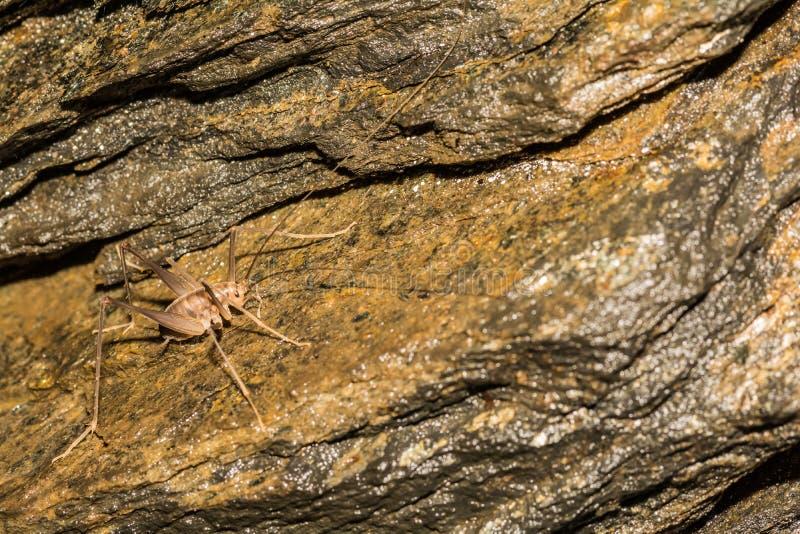 骆驼蟋蟀 免版税库存照片