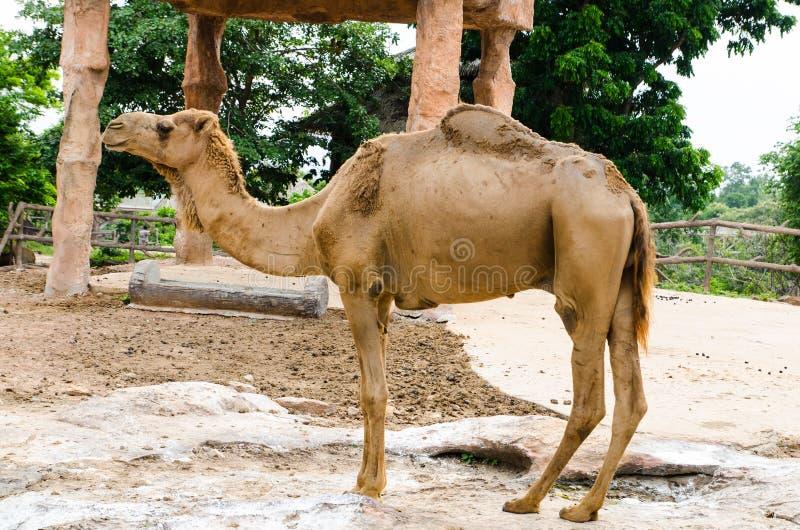 骆驼身分 免版税库存图片