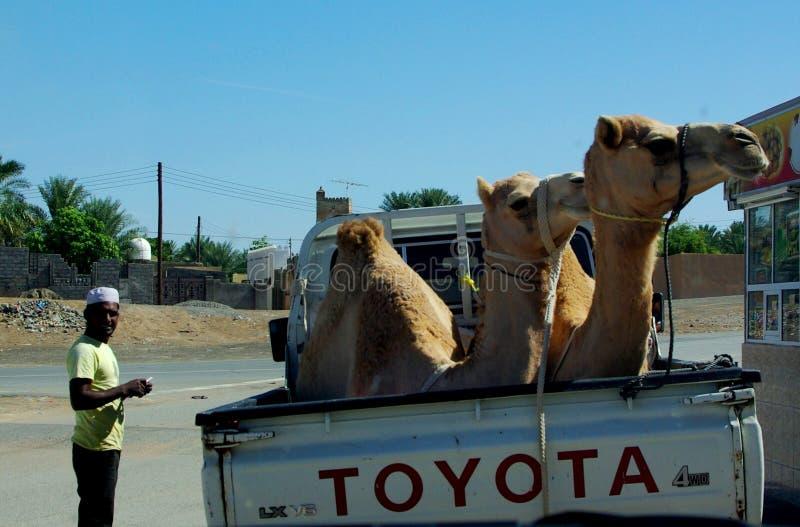 骆驼运输 库存图片