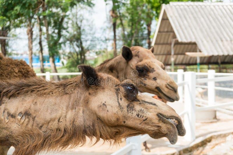 骆驼有几层眼睫�_骆驼选择聚焦头在眼睛的