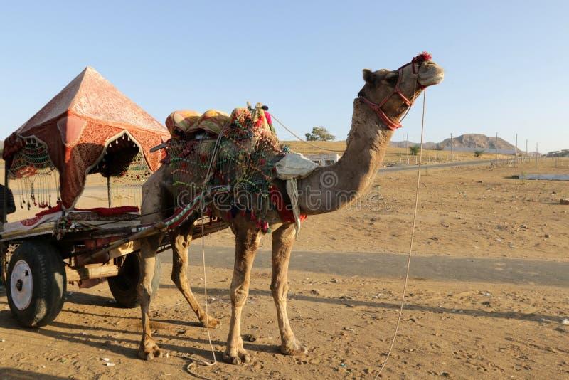 骆驼骑马在沙漠 库存图片