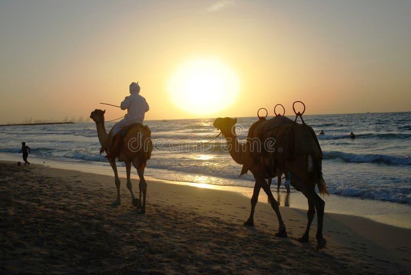 骆驼骑马的流浪者到日落里 库存图片