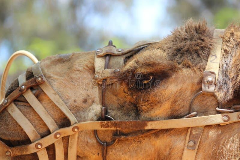 骆驼头 库存图片