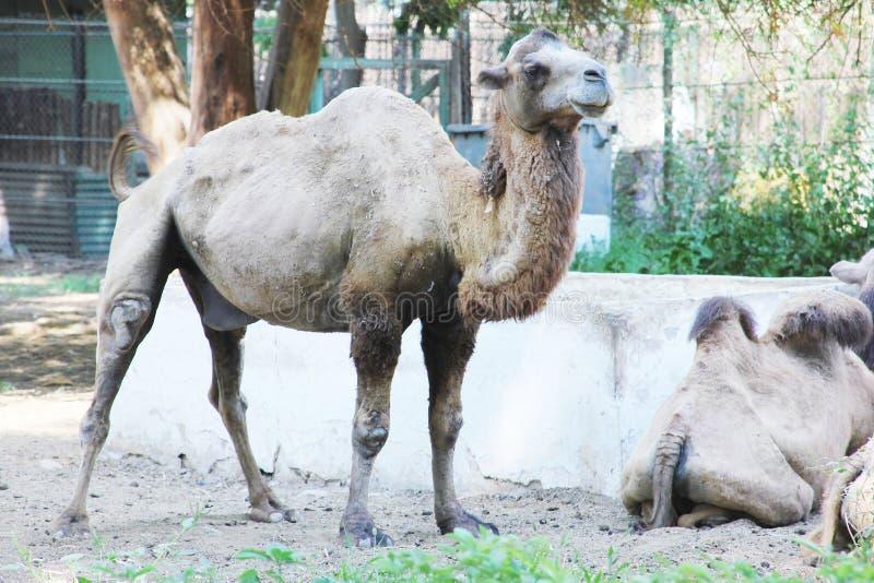 Download 骆驼 库存图片. 图片 包括有 阳光, 人们, 巨大, 房子, 突出, 阿拉伯人, 哺乳动物, beautifuler - 59109849