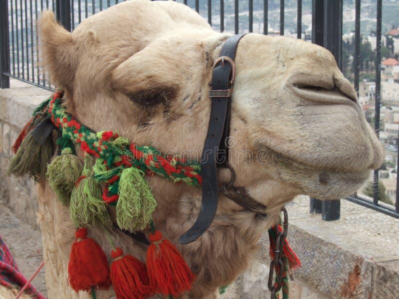 骆驼 库存图片