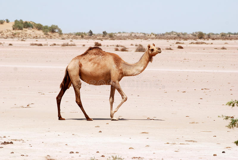 骆驼cholistan沙漠巴基斯坦 免版税库存照片