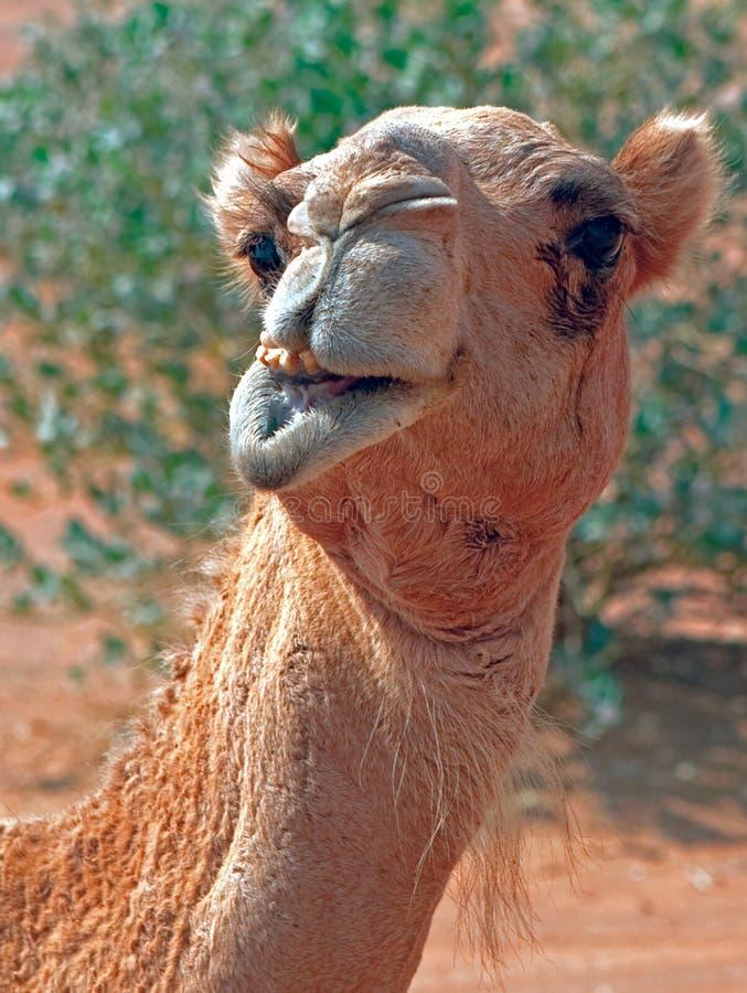 骆驼s微笑 免版税图库摄影