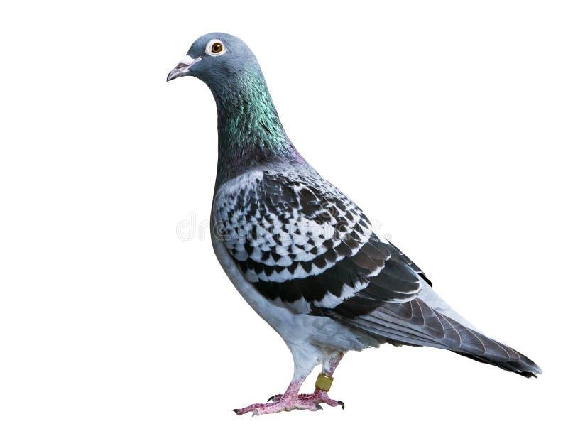 验查员回家的速度赛鸽孤立白色背景的羽毛样式 免版税图库摄影