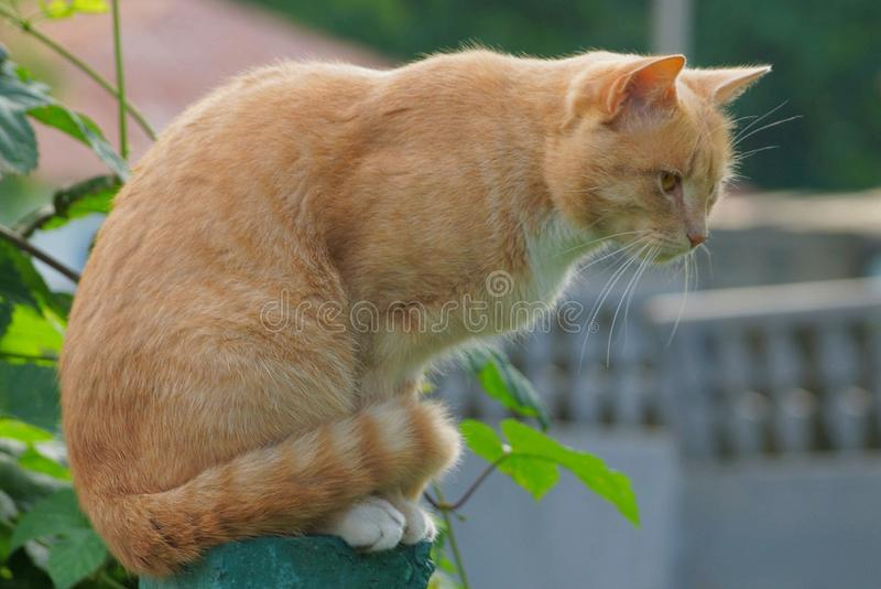 骑墙观望在绿色叶子外部的大红色猫 图库摄影