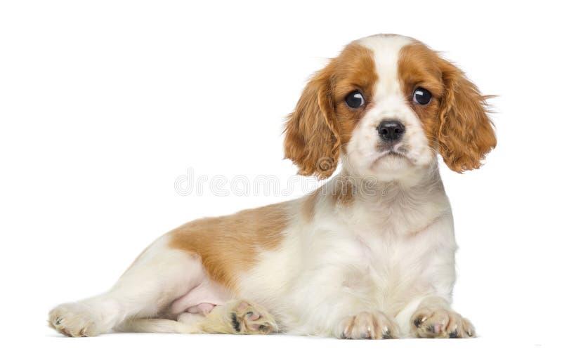 骑士国王查尔斯凝视的Puppy说谎和, 2个月 免版税库存照片