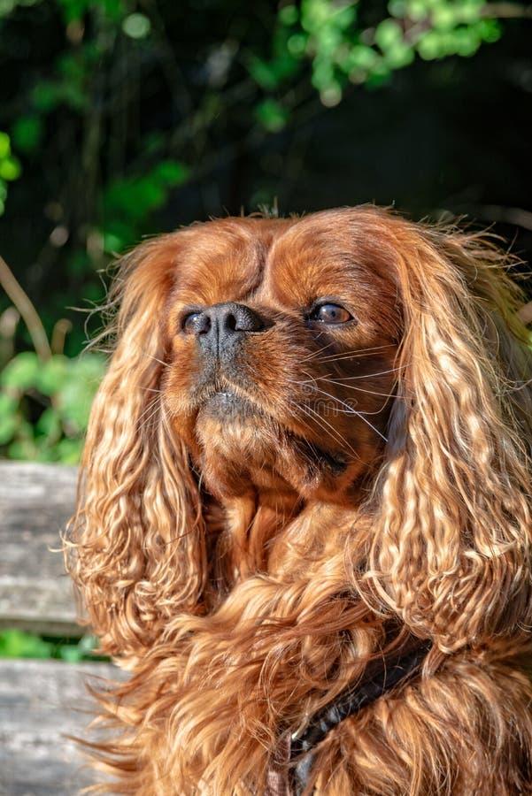 骑士国王查尔斯狗在布朗红宝石 库存图片