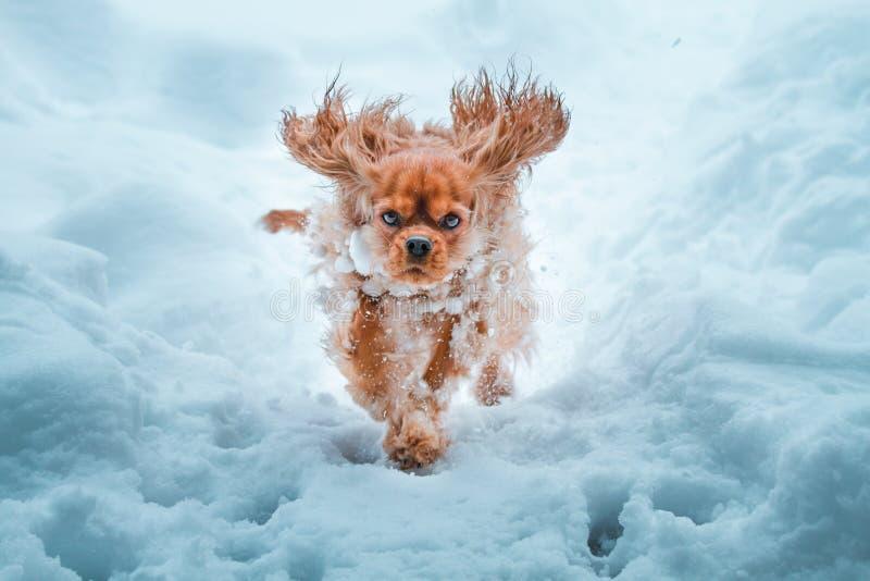 骑士国王查尔斯狗狗runnung在冬天 库存图片