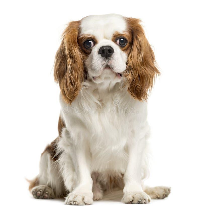 骑士国王查尔斯狗,隔绝在白色 库存照片