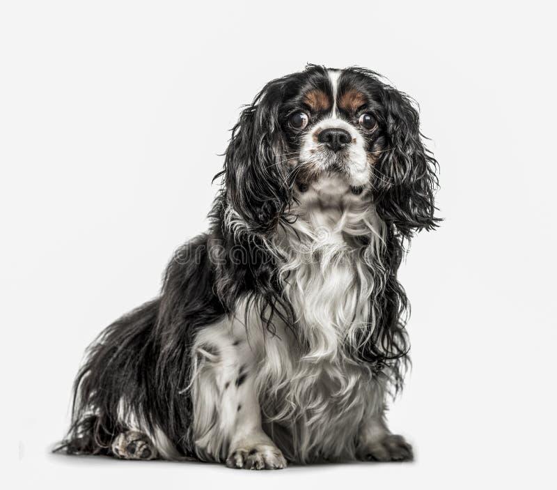 骑士国王查尔斯狗, 5岁,隔绝在白色 免版税库存照片