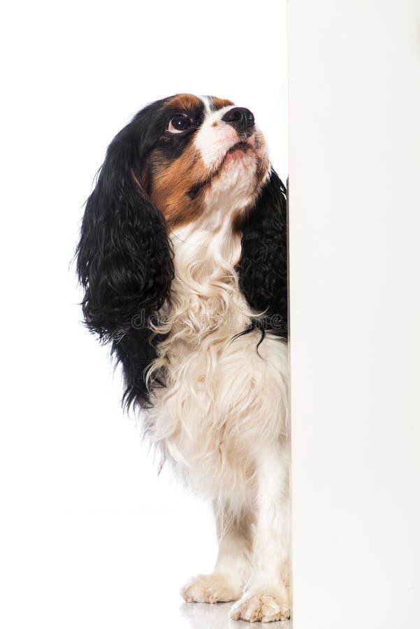 骑士国王查尔斯狗 免版税图库摄影