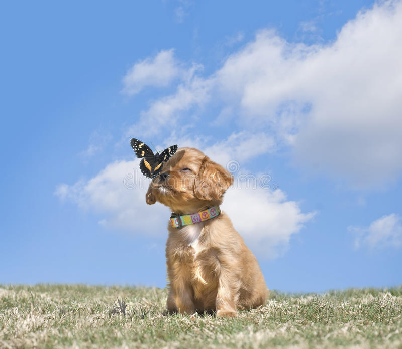 骑士国王查尔斯Puppy With蝴蝶 免版税库存图片