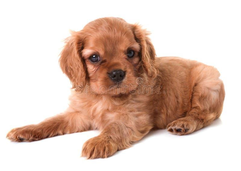 骑士查尔斯国王小狗 免版税库存照片