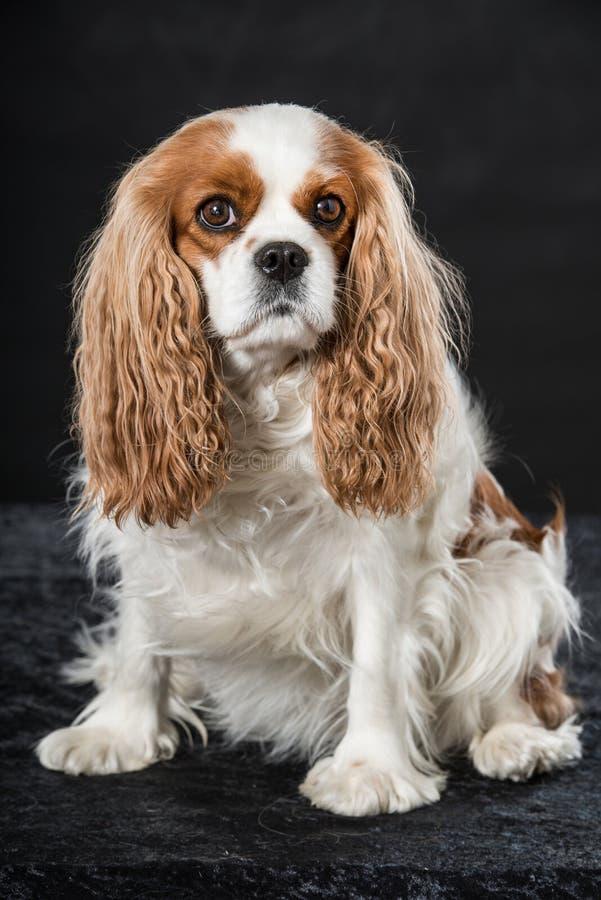 骑士查尔斯国王西班牙猎狗 库存照片