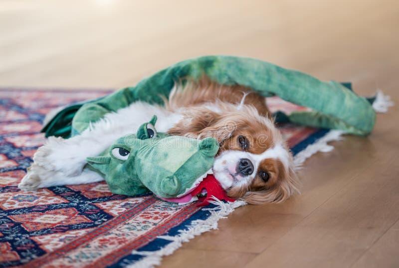 骑士查尔斯深度眼睛域重点故意国王纵向浅西班牙猎狗 免版税库存照片