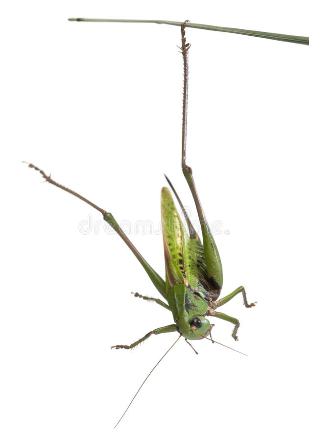 骗子灌木蟋蟀女性疣 库存照片
