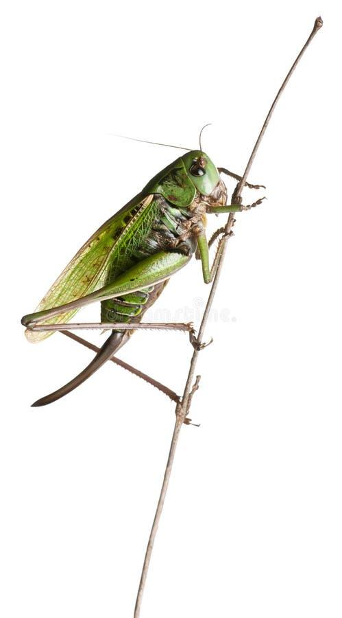 骗子灌木蟋蟀女性疣 图库摄影