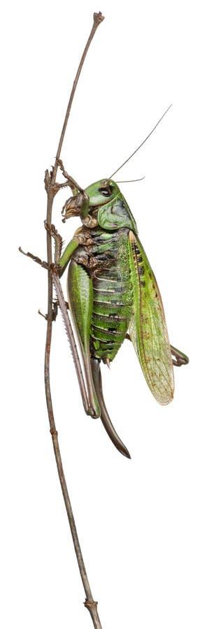 骗子灌木蟋蟀女性疣 库存图片