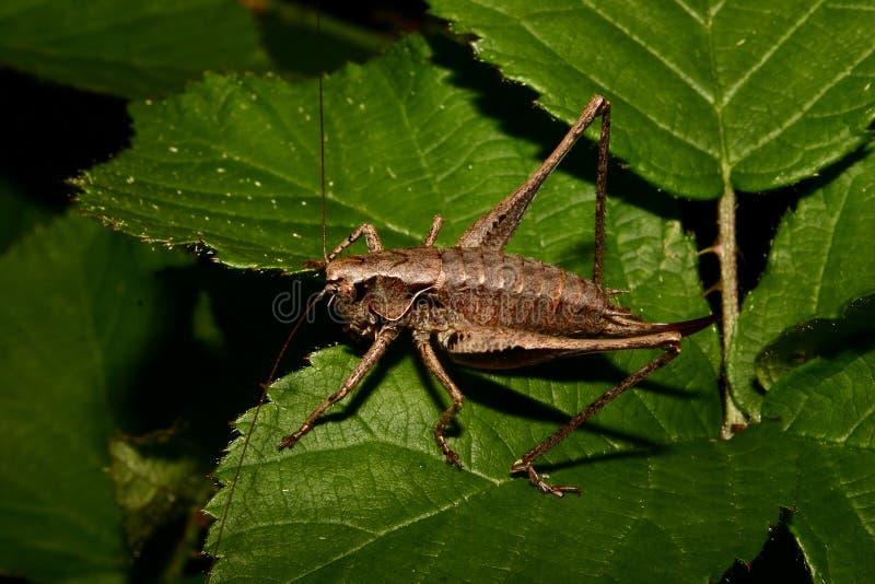 骗子decticus verrucivorus疣 免版税图库摄影