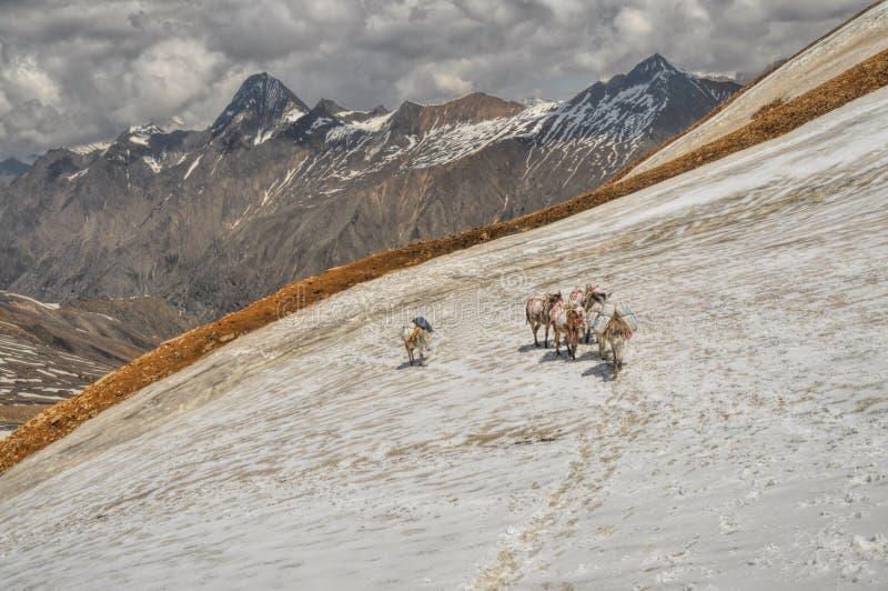 骡子在喜马拉雅山 免版税库存图片