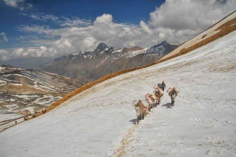 骡子在喜马拉雅山 免版税库存照片