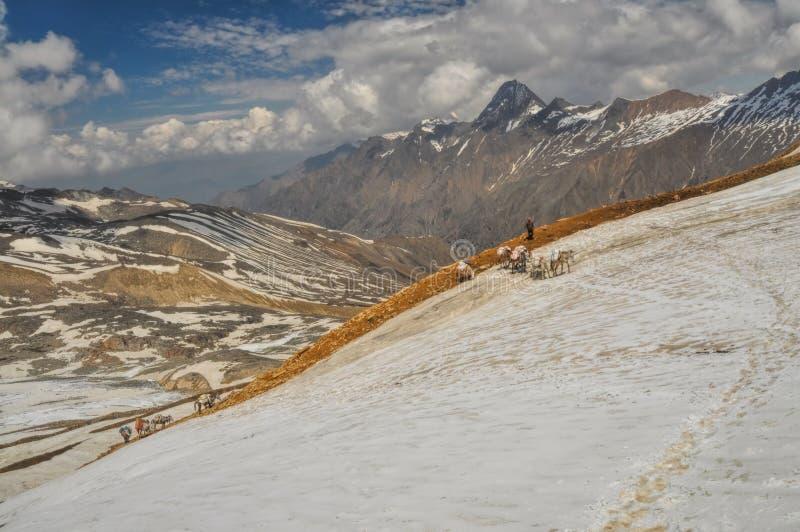 骡子在喜马拉雅山 图库摄影
