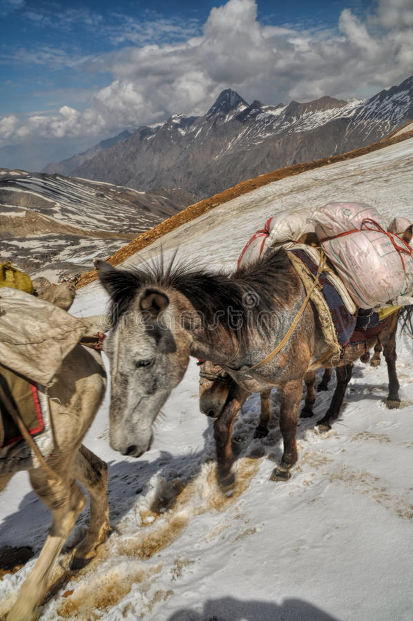 骡子在喜马拉雅山 库存图片