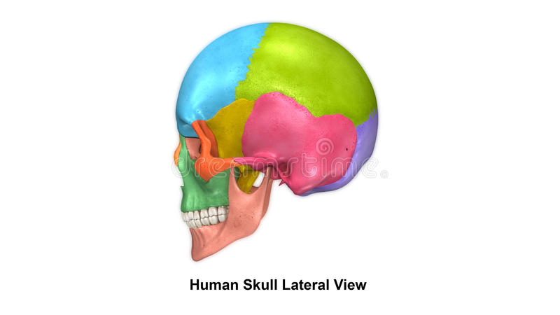 头骨侧面视图 皇族释放例证