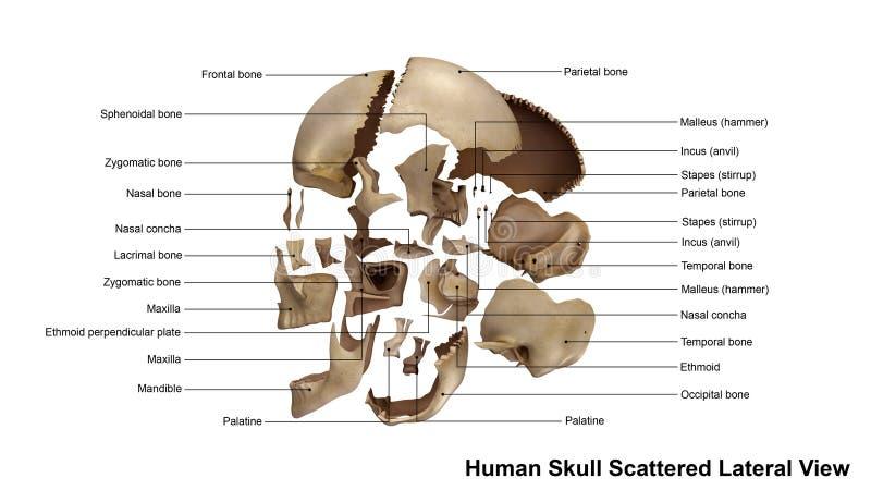 头骨疏散侧向看法 向量例证