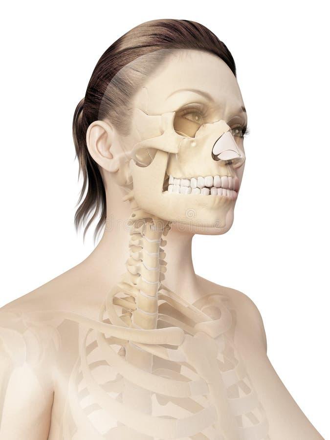 头骨的骨头 库存例证