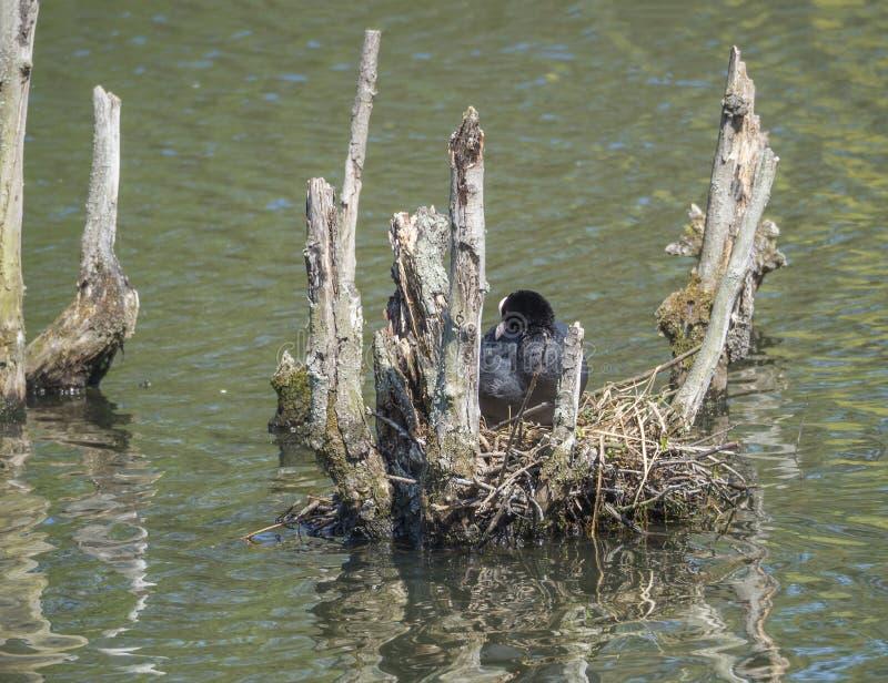 骨顶属atra欧亚老傻瓜共同的老傻瓜坐在巢的鸡蛋在湖 库存图片