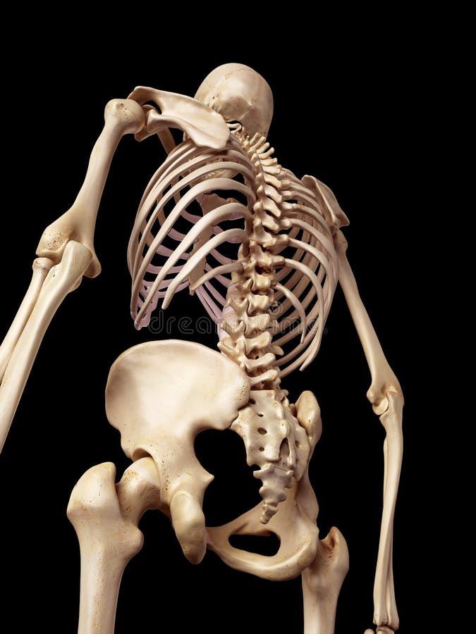 骨骼后面 向量例证