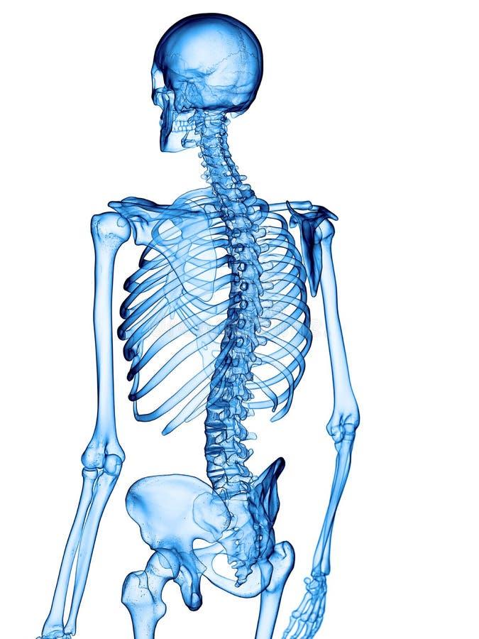 骨骼后面 皇族释放例证
