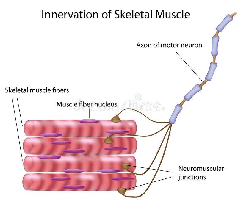 骨骼的肌肉 库存例证