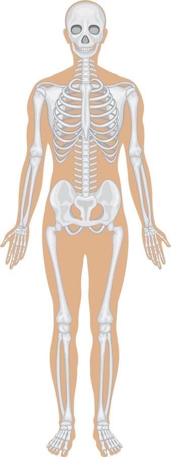 骨骼系统白色 向量例证