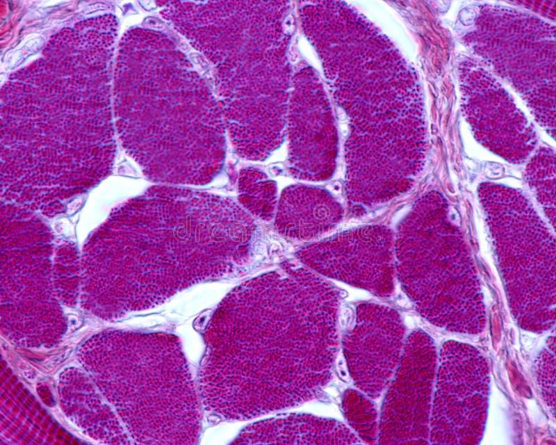 骨骼肌纤维 肌原纤维 免版税库存照片