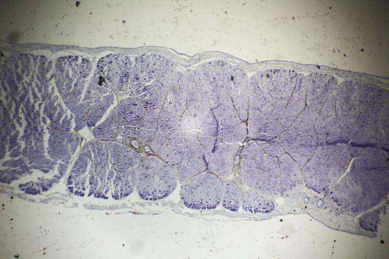 骨骼肌部分在显微镜下 库存照片
